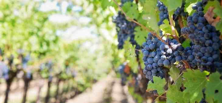 La rinascita dell'Italia nella produzione del vino