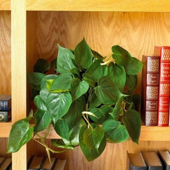 Best indoor plants you can grow without care 42