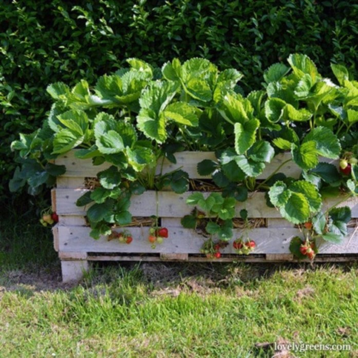 Creative ways to grow strawberry at your garden 09