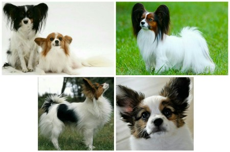 Ranked 8th among the 10 most intelligent dog breeds- Papillon.