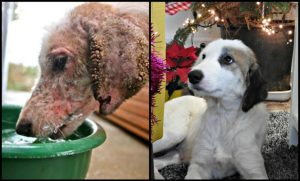 A before & after rescue picture of the same mange ridden, malnourished stray dog, previously infested with ticks and maggots, now all healthy and gorgeous, highlighting the striking difference a bit of love & care can bring about!