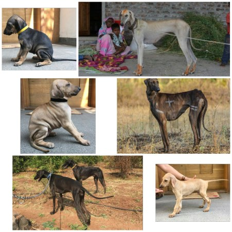 The Mudhol Hound