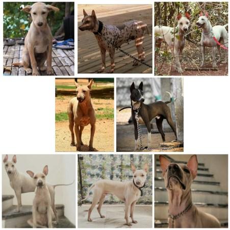 The Jonangi Dog