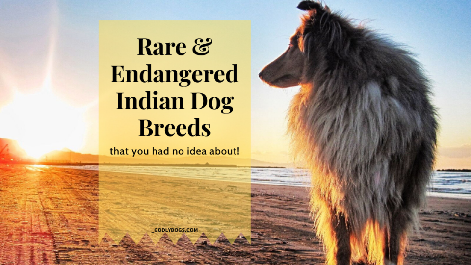 Cover of Rare & endangered Indian dog breeds by godlydogs.com