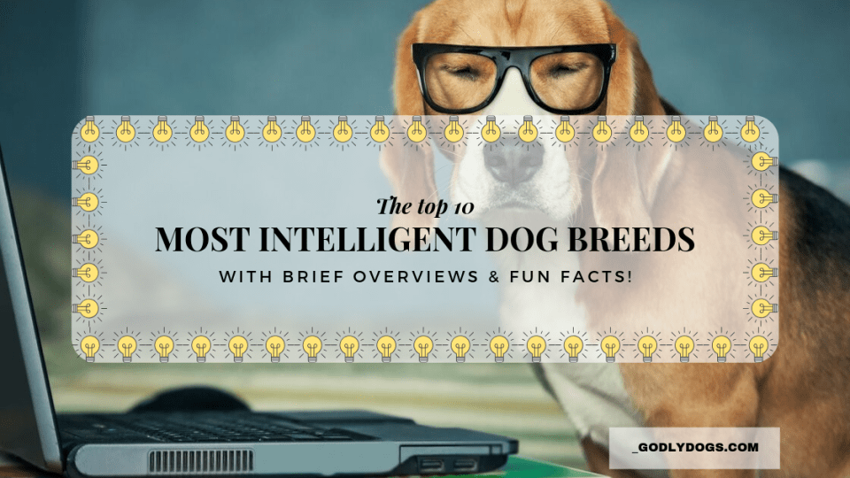 Featured image for the article, 'The top 10 most intelligent dog breeds' by godlydogs.com
