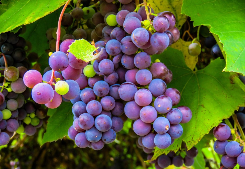 Grapes on Vine via Pixabay -- No Attribution Required