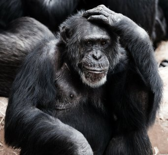 ape, monkey, primate