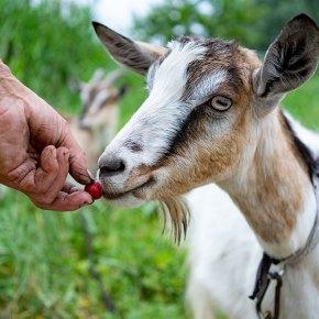 unrecognizable-farmer-feeding-goat-with-cherry-3ESMFYA