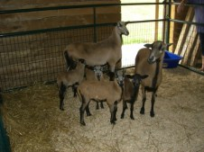 1st Sheep we purchased