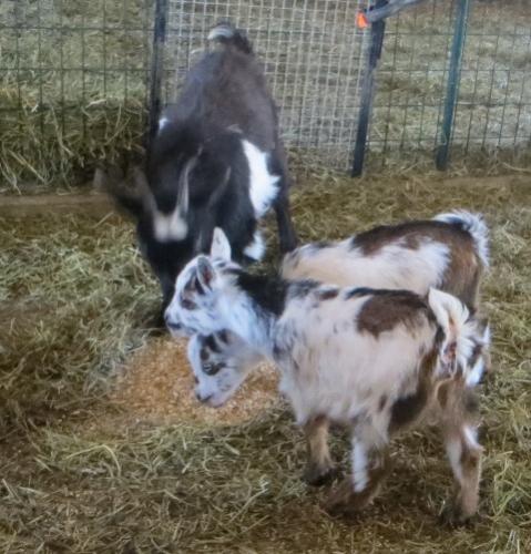 Pixi #2 Tricolored doe