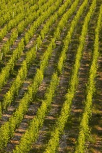 14366451-vineyards-near-to-sancerre-in-the-loire-valley