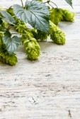 15407482-green-fresh-hop-border-on-old-wood-background