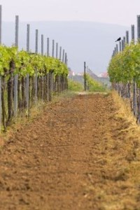 402902-rows-of-young-grapes-in-wineyards-of-southen-germany-region-rheinland-pfalz