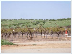 grapevinesbudding