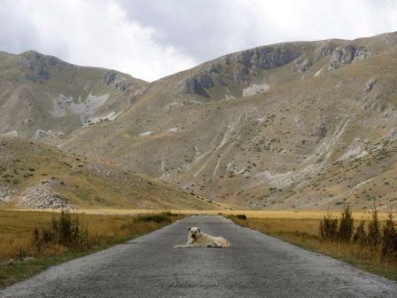 shepard dogs