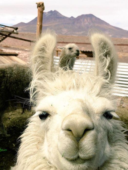 Atacama llama