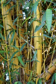 bamboo shoots in the yard
