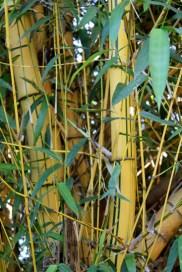 bamboo shoots in the yard