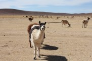Bolivia Salt Flat Tour, Day 1 - Llama