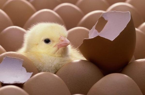 chicken, meet egg