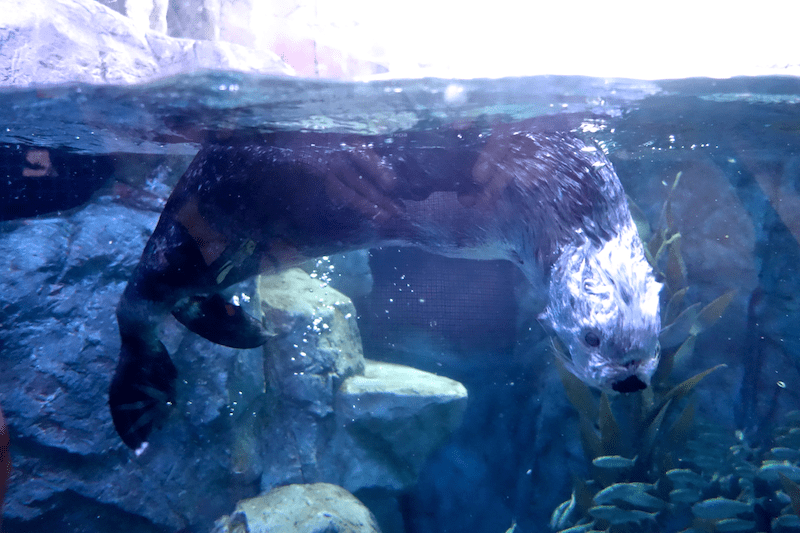 Otter in a dive Aquarium of the Pacific