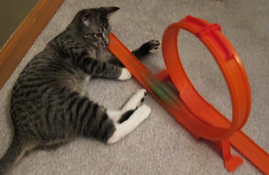 cat kitten watching car hot wheels loop track