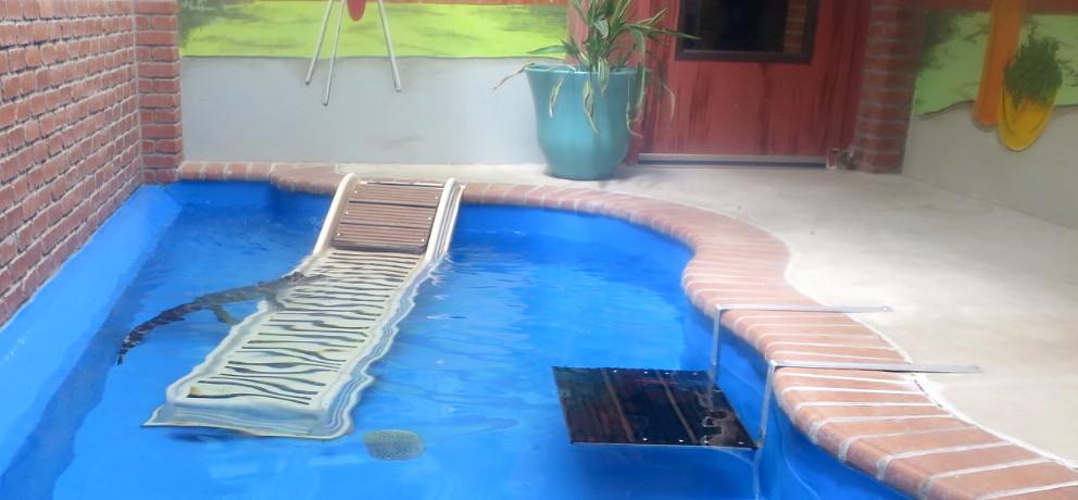 alligator in pool, cheyenne mountain zoo