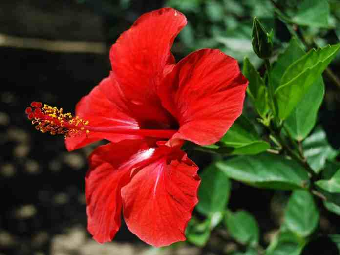 Hibiscus skin hair care