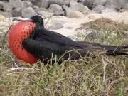 fragata-bird