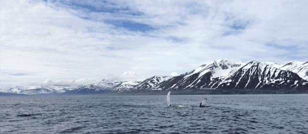 Reisetipps für Island: Whale Watching bei Dalvik
