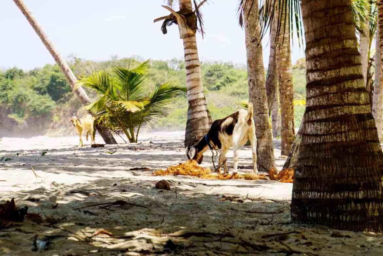 Ziegen am Strand