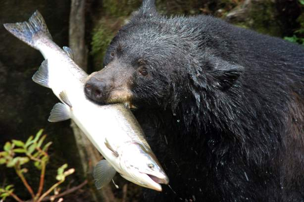 Climbing bear-Black_bear_with_salmon
