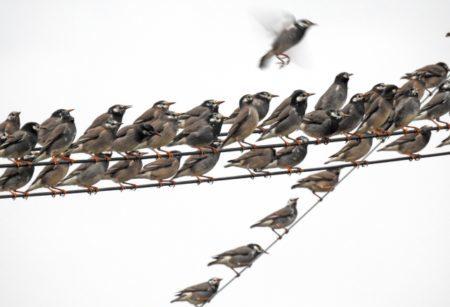 ムクドリはどんな鳥?!ムクドリの画像は?!鳴き声はうるさいって本当?