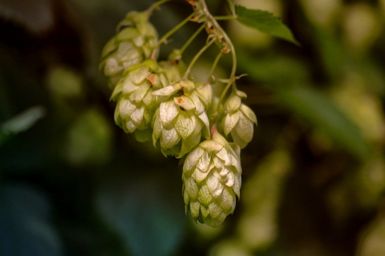Hops shouldn't be only recognized with beer. They can be very helpful in improving your sleep quality.