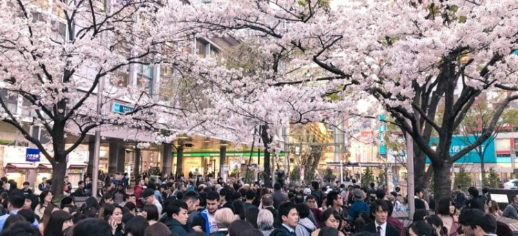 admirer les cerisiers en fleurs à Tokyo