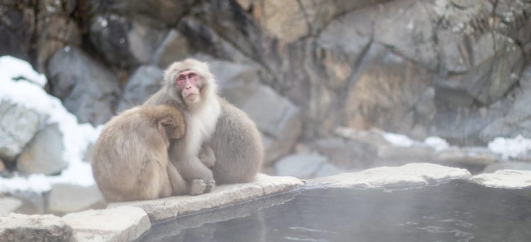 Live in Nagano - monkeys at Jigokudani monkey park