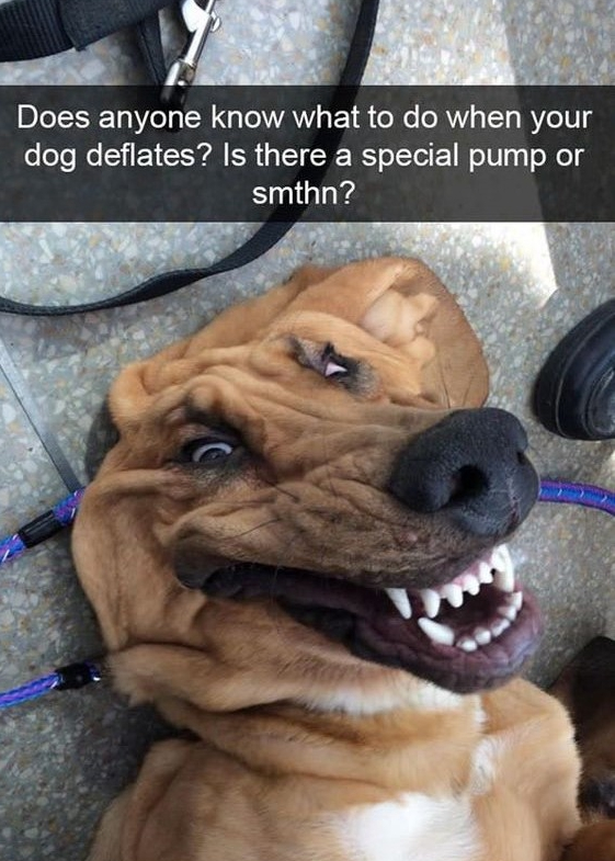 Laughing Dog Meme : laughing, Funny, Memes, Laughing, Whole