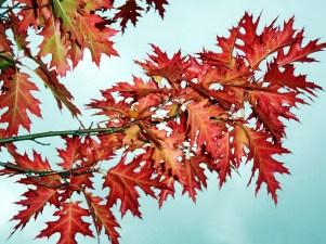 Oak, Golden Autumn