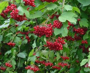 Wild Viburnum. Image credit: Wikipedia.