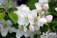 Spple blossoms at Kolomenskoye