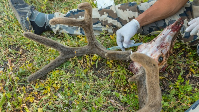 Injection of antler main ray vein with formaldehyde