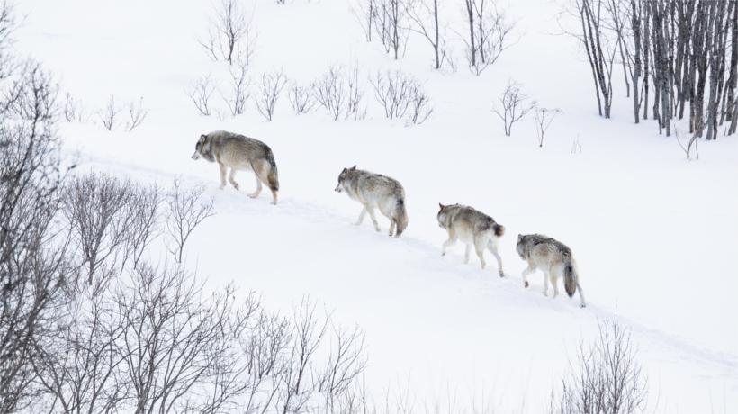 Washington State to eliminate endangered gray wolf pack