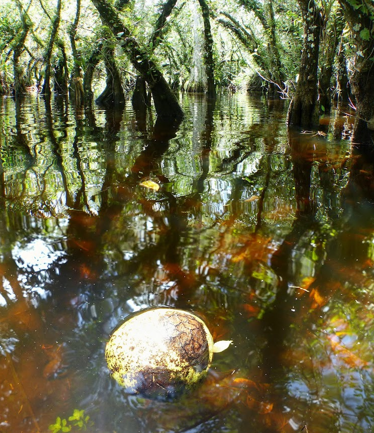 Big Cypress pond apple in the water in a cypress dome