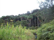 Pandanus Plantaion - Yeme