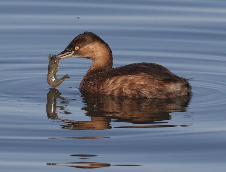 Little Grebe catching a shrimp