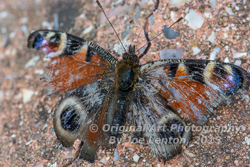 Damaged Peacock Butterfly