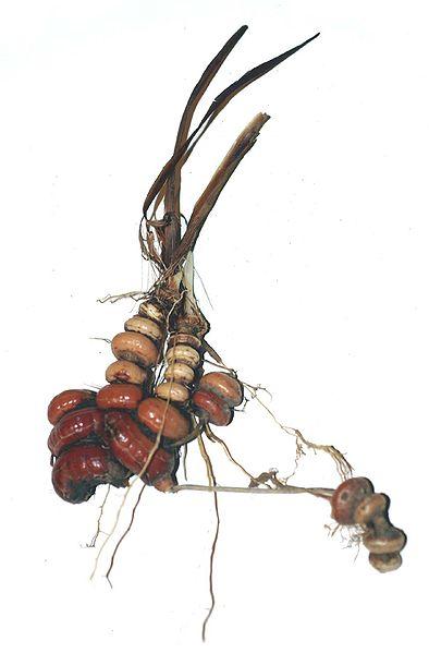 crocosmia corm