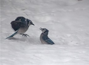 Bully Blue Jay on left