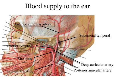 bagian telinga dan fungsinya