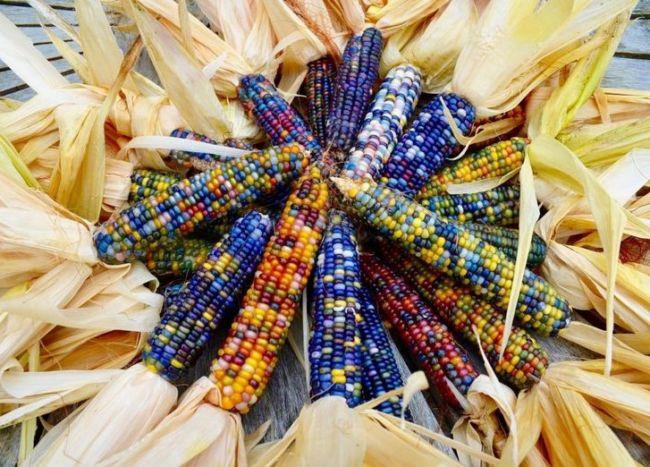 Keanekaragaman hayati tingkat gen pada jagung
